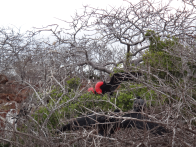 Fregate Bird in mating season