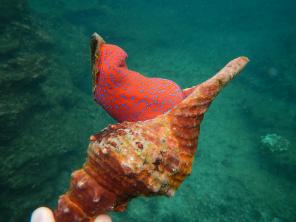 Cronchy sea snail