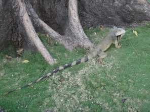 Iguana in Parque Bolívar