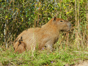 "A capybara, aka the ""monster guinea pig""."