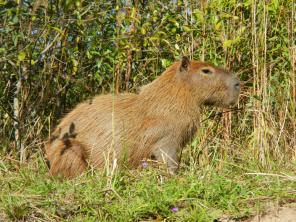 """A capybara, aka the """"monster guinea pig""""."""