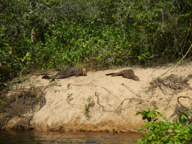 Otters relaxing on the riverbank