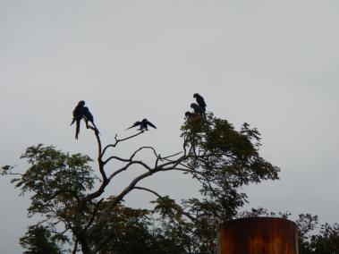 Group of blue aras