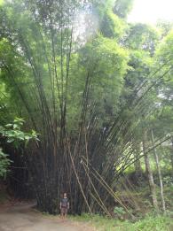 Giant bambus