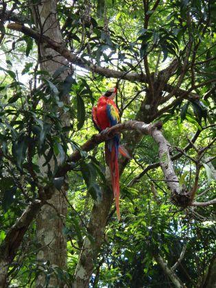 Parrot at the Ruinas de Copán
